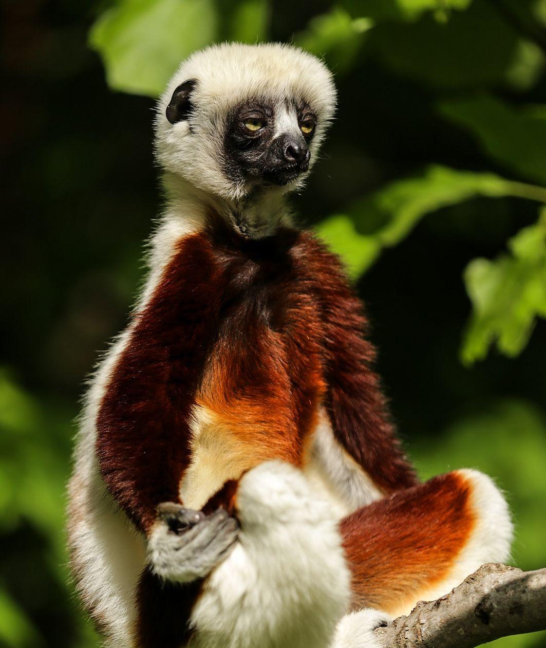 madagascar_lemur-1794520_1920_kivagott